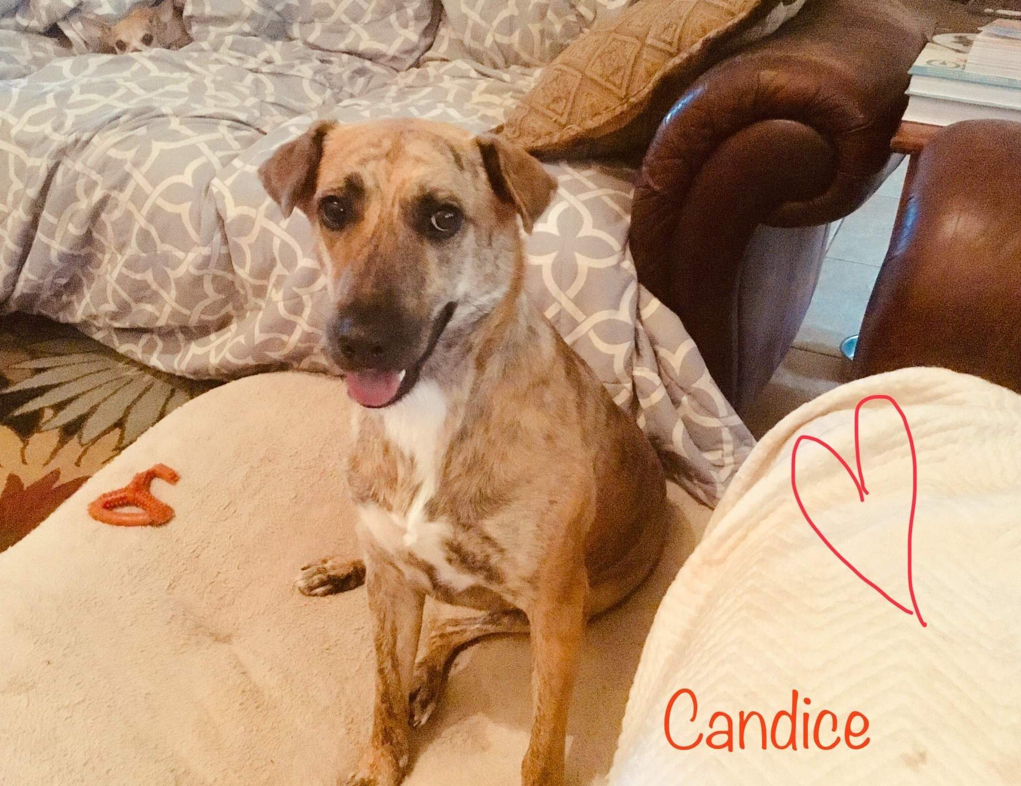 <UL> Candice <LI> Breed: Lab/Greyhound mix <LI> Sex: Female <LI> Age: 3 yrs old <LI> Fee: $2