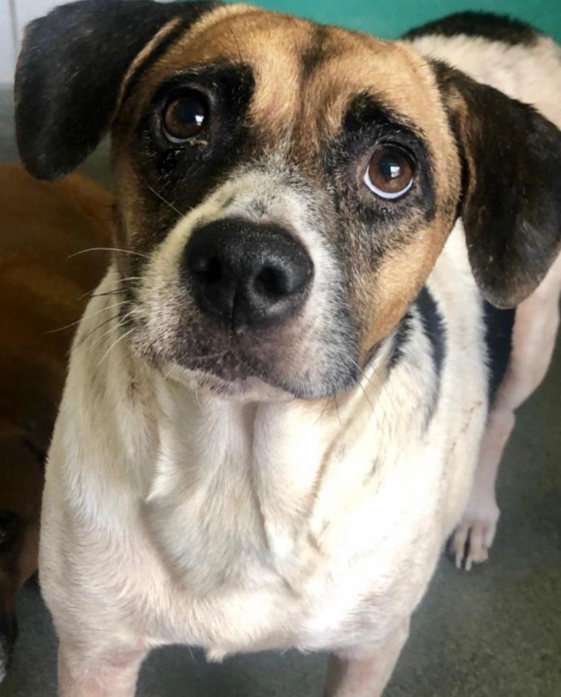 <UL> Oreo <LI> Breed: Beagle mix <LI> Sex: Female <LI> Age: 7 yrs old