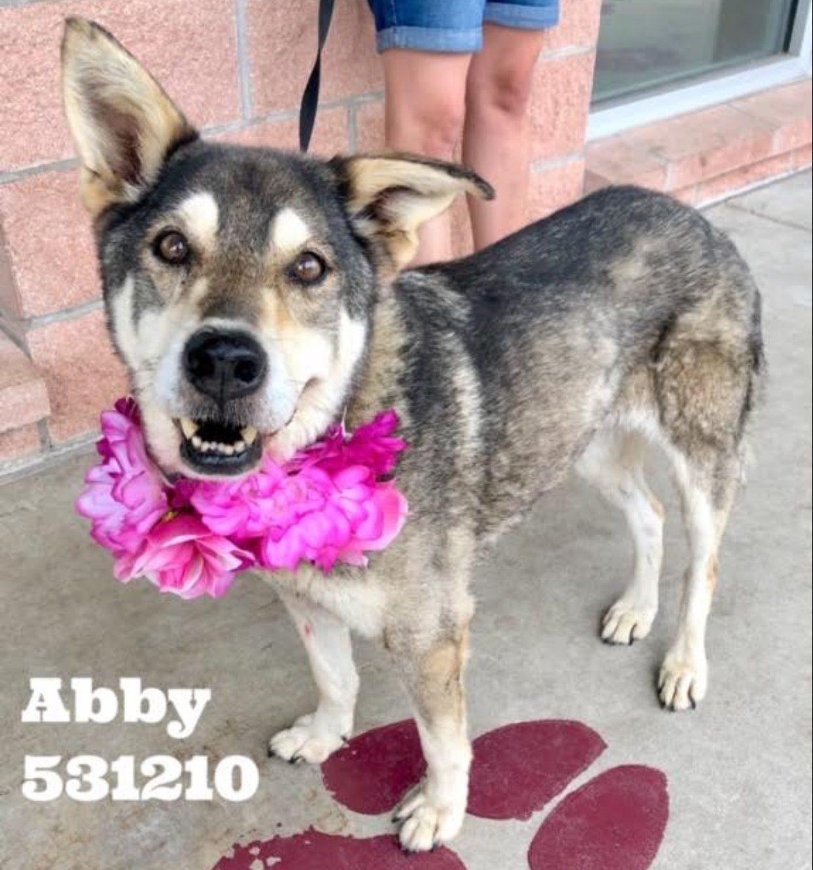<UL> Abby <LI> Breed: Husky mix <LI> Sex: Female <LI> Age: 8 yr old