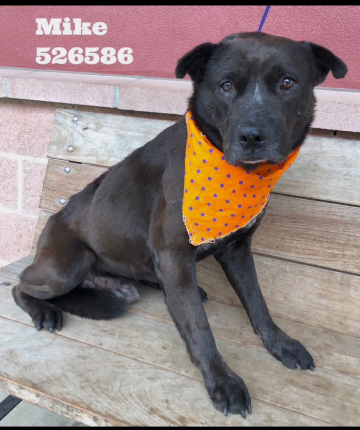 <UL> Mike <LI> Breed: Lab mix <LI> Sex: Male <LI> Age: 2 yrs old <LI> Fee: $225