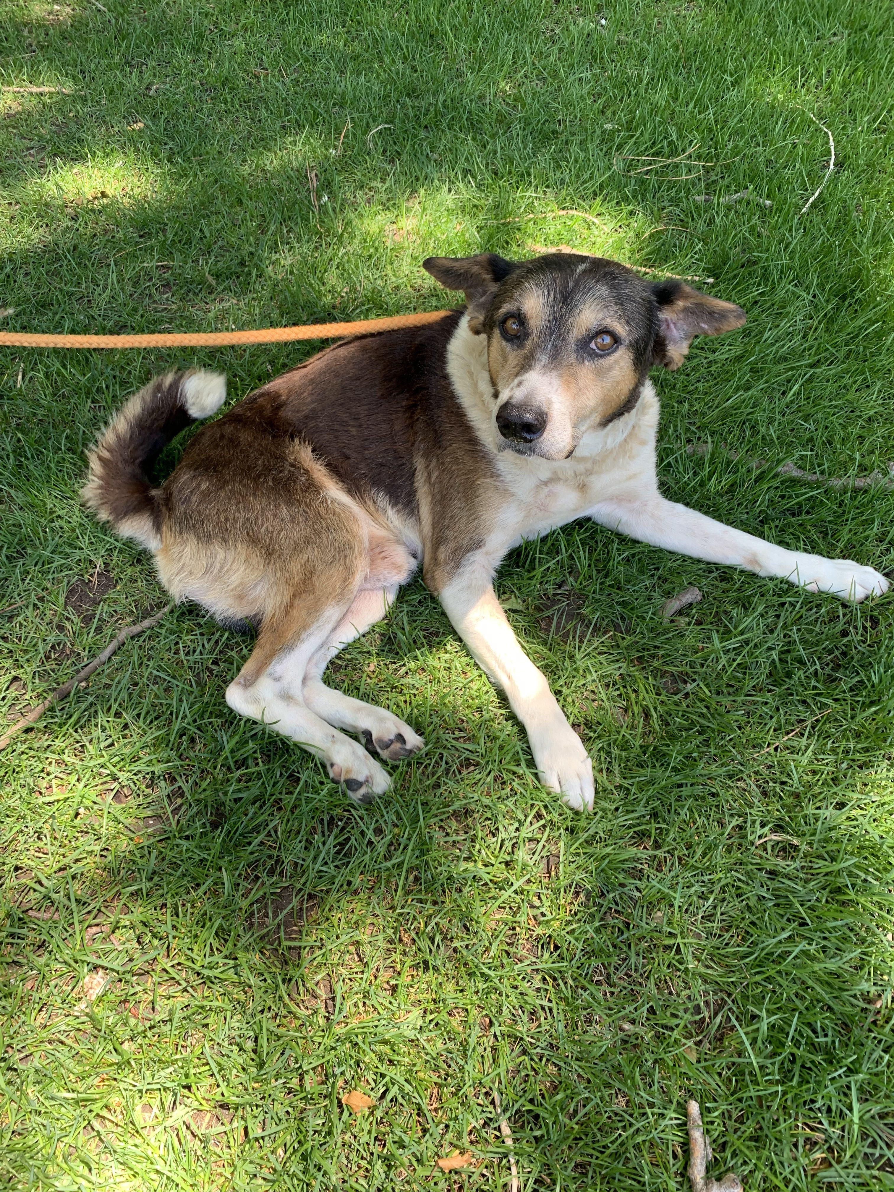 <UL> Bobo <LI> Breed: Beagle mix <LI> Sex: Male <LI> Age: 8 yr old