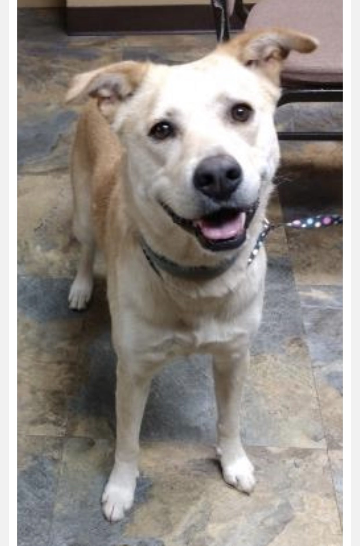 <UL> Pixie <LI> Breed: Lab/ Shepherd Mix <LI> Sex: F <LI> Age: 4yrs <LI> Fee:$225