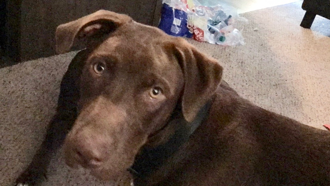 <UL> FOSTER NEEDED <UL>Gunnar <LI> Breed: Chocolate Lab Mix <LI> Sex: M <LI> Age: 1 yr old <LI> Fee: