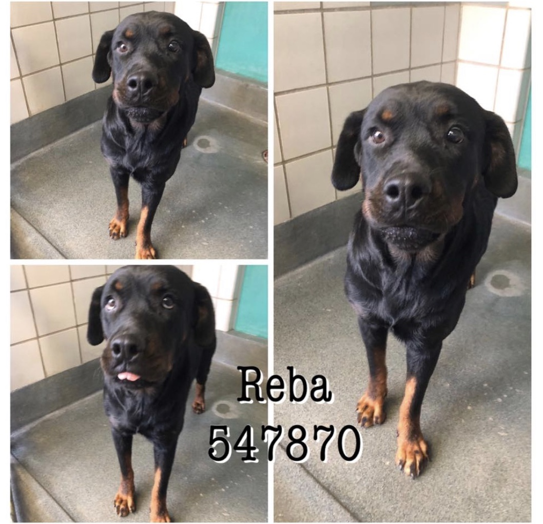 <UL> FOSTER NEEDED <UL>Reba <LI> Breed: Rottweiler Mix <LI> Sex: F <LI> Age: 3 yrs <LI> Fee: $225