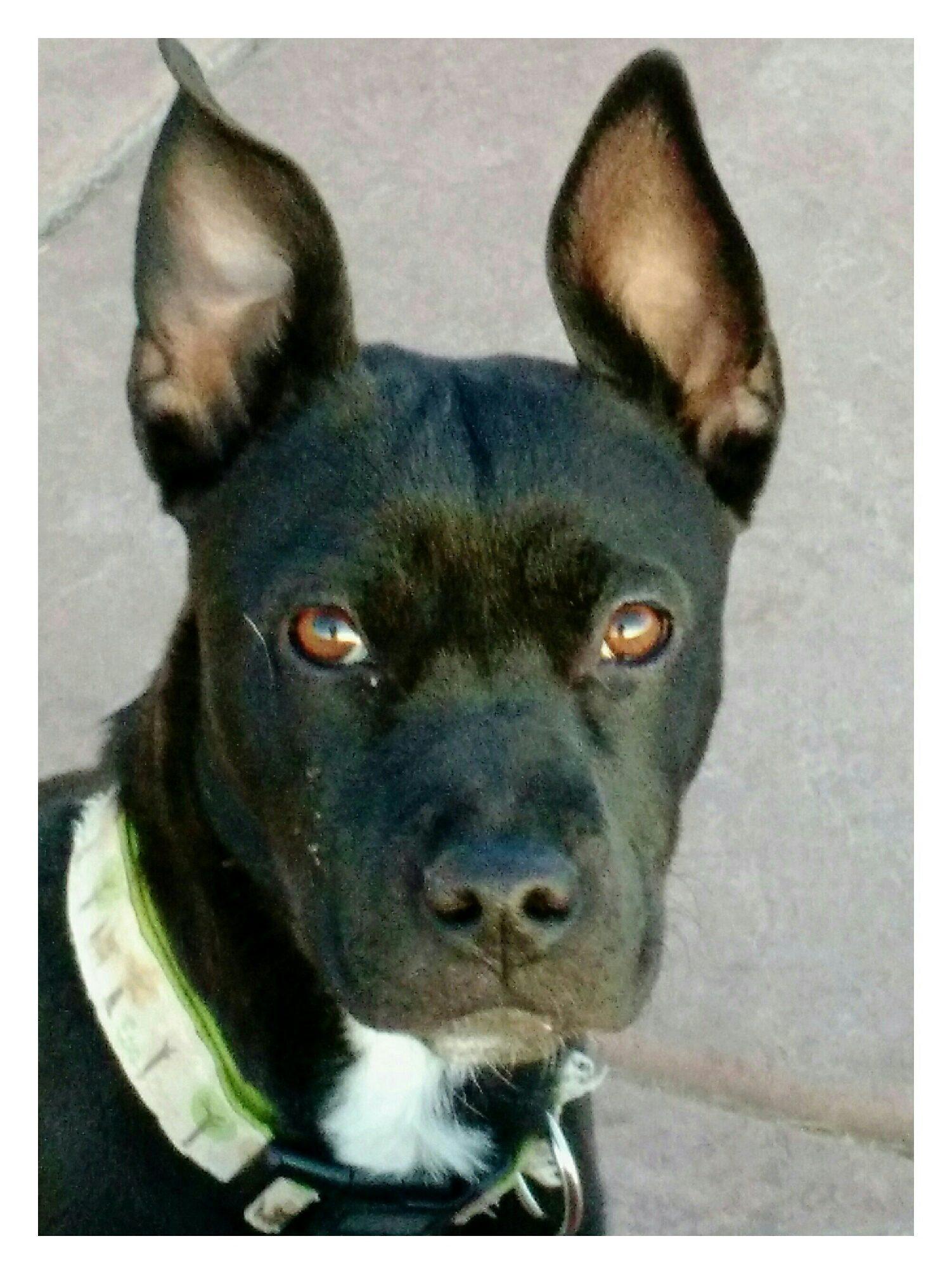 <UL> Piper <LI> Boston Terrier Shepherd mix <LI> Sex: F <LI> Age: 6 mnths old <LI> Fee: $325