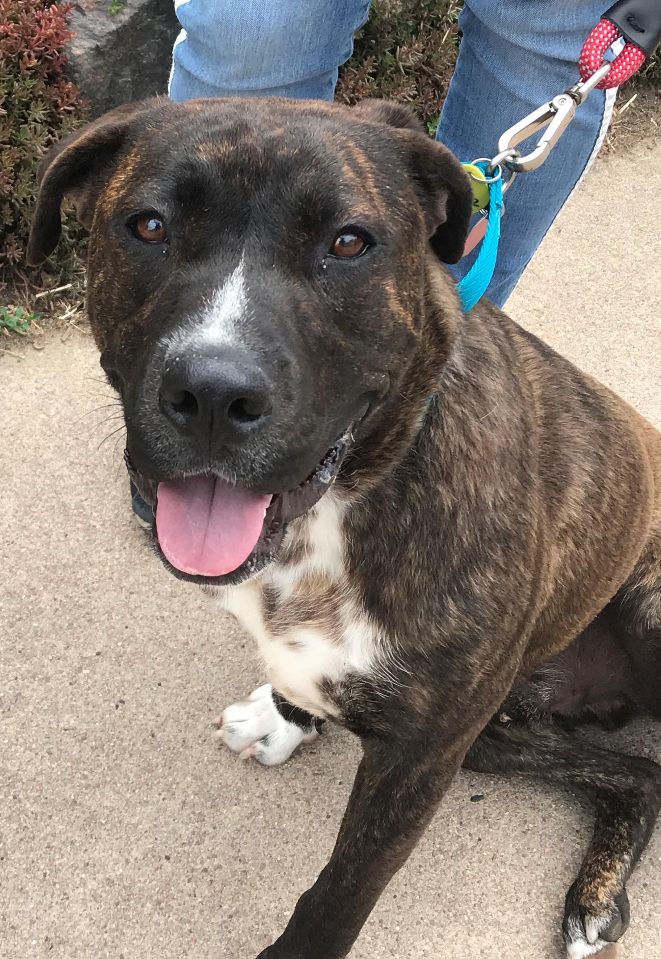 <UL> Kota <LI> Staffordshire Terrier/Boxer mix <LI> Sex: M <LI> Age:2 yrs <LI> Fee:$250