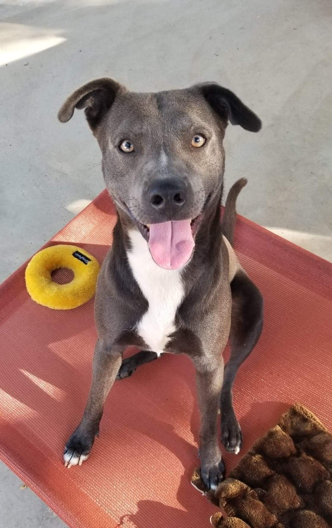<UL> Slater <LI> ADOPTION PENDING <LI> Blue Lacy mix  <LI> Sex: M <LI> Age: 2 yrs <LI> Fee: $250