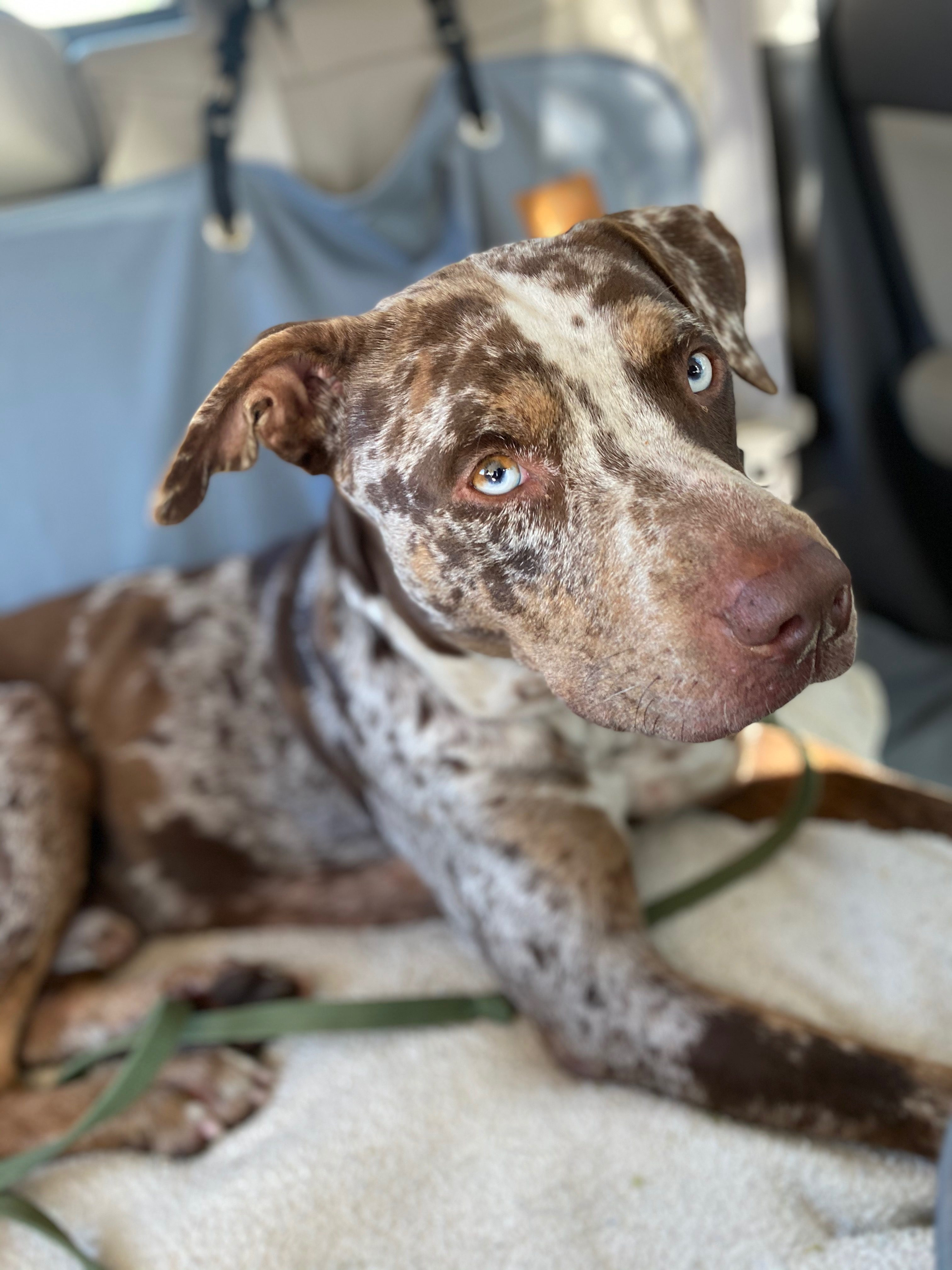 <UL> Nelson <LI> Catahoula mix <LI> Sex: M <LI> Age: 2 yrs <LI> Fee: $250