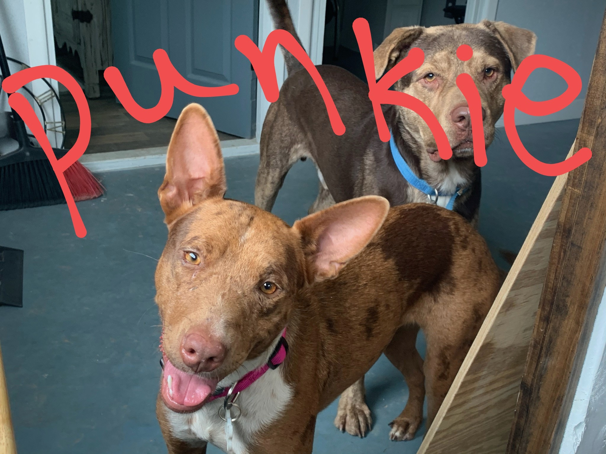 <UL> Punkie <LI> Catahoula mix <LI> Sex: F <LI> Age: 2 yrs <LI> Fee: $250