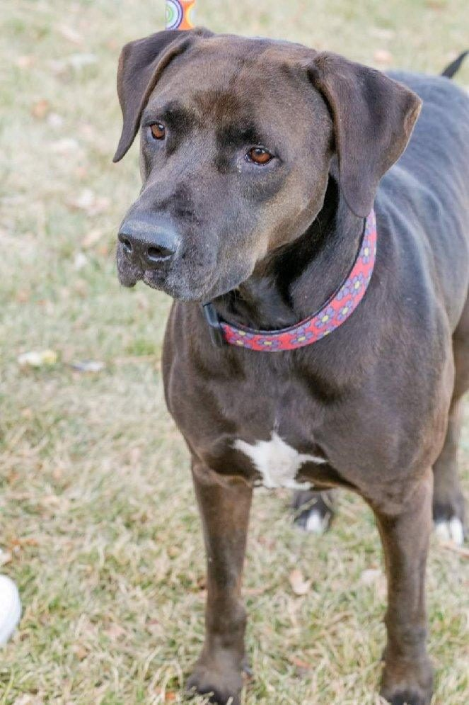 <UL> Molly <LI> Lab/Mastiff mix <LI> Sex: F <LI> Age: 8 yrs <LI> Fee: $200