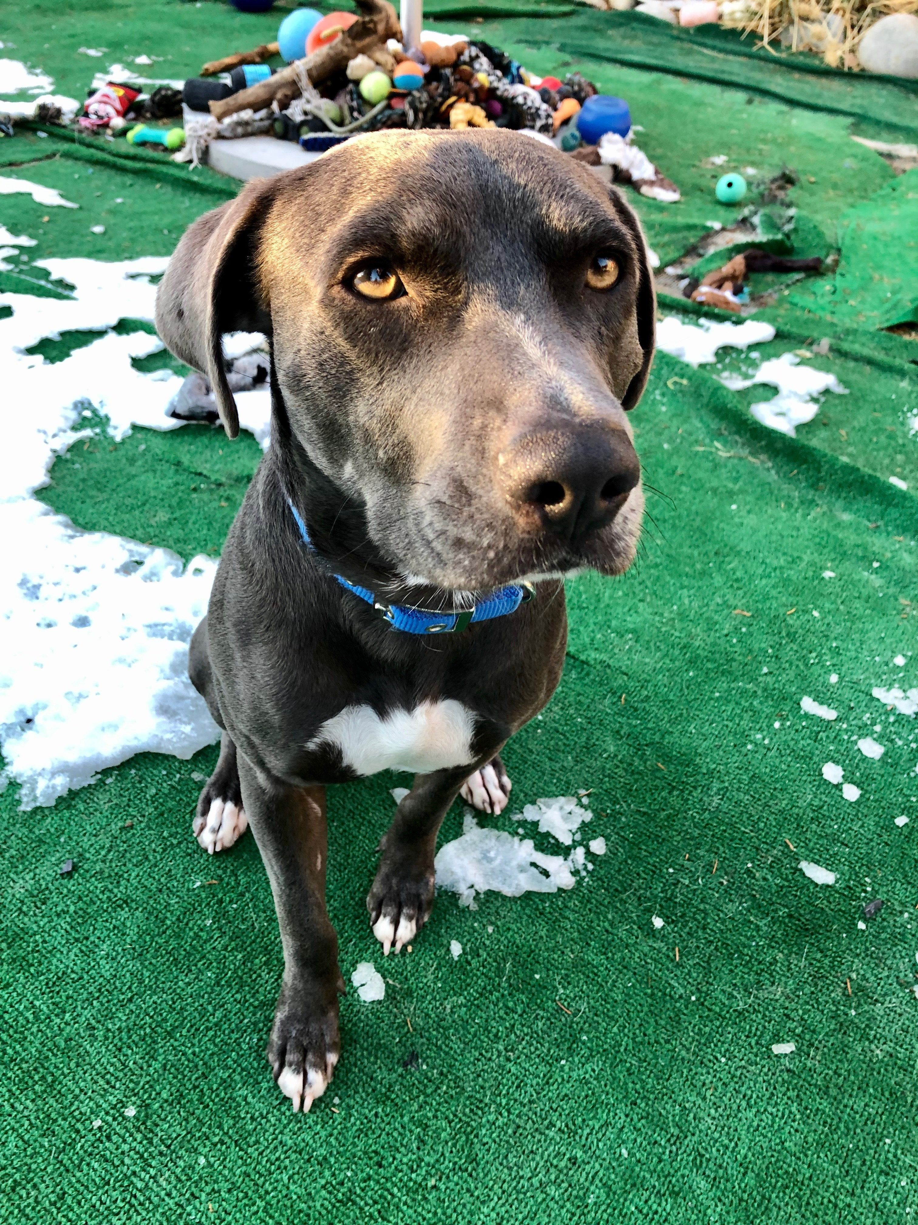 <UL> Blue <LI> Purebred Texas Blue Lacy<LI> Sex: M <LI> Age: 2 yrs <LI> Fee: $250