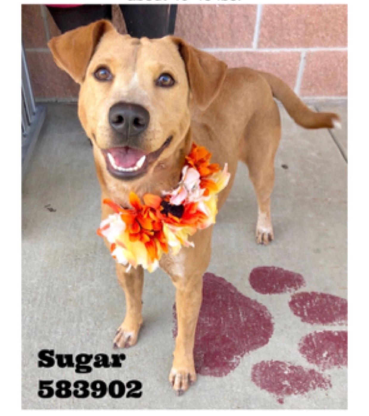 <UL> Sugar <LI> ADOPTION PENDING <LI> Lab mix <LI> Sex: F <LI> Age: 2 yrs <LI> Fee: $250