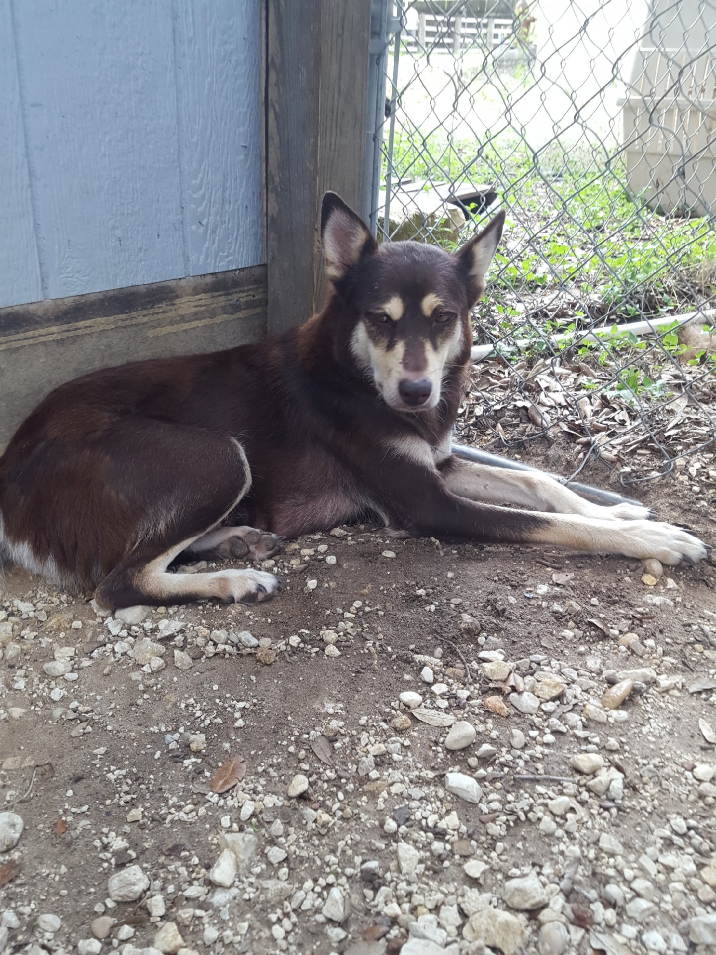 <UL> Hazel <LI> ADOPTION PENDING <LI> Husky mix <LI> Sex: F <LI> Age: 2 yrs <LI> Fee: $250